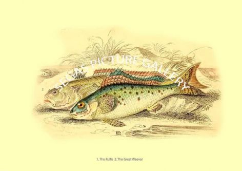 Fine art print of the Ruffe - Great Weever by Robert Hamilton (1843)